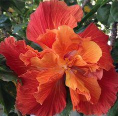 "Hibiscus ....double .....""VESUVIUS""...."
