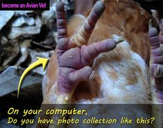 poultry diseases, photos, pictures, images, chicken diseases