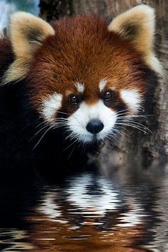 """Red panda - The Red Panda, also called the Firefox or Lesser Panda (Latin name: Ailurus fulgens, """"shining cat""""), is a mostly herbivorous mammal, specialized as a bamboo feeder. It is slightly larger than a domestic cat (40 – 60 cm l"""
