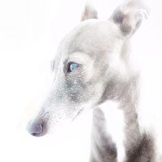 Chloe / Italian Greyhound