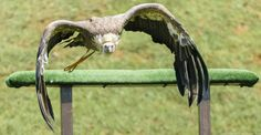 "MAAVFotografía posted a photo:  Buitre Leonado o Gyps fulvus durante una exhibición de aves rapaces en el Parque de la Naturaleza de Cabárceno, en Cantabria. Sin palabras, visita obligada para cualquier amante de los animales, y de las aves especialmente, que visite la región.  Fawn vulture or ""Gyps fulvus"" during an exhibition of birds raptors in Cabarceno nature park in Cantabria, Spain. I have no words to describe it, visiting it is a big must for any animal or birds lover visiting the…"