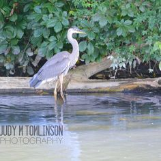 """Blue Heron"" by Judy M Tomlinson Photography http://www.judymtomlinsonphotography.ca/  #londonontariophotographer #printsforsale #wildlife #blueheron #bird#nikon"