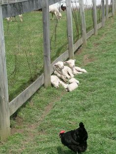 Baby sheep sunning themselves at Slate Run Historical Farm.  I REALLY need to get to Slate Run and get some pictures before they get to big.  Love the lambs!!