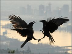 WOW!! Amazing!!! Crow fight