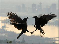 WOW!! Amazing!!! Crow fight
