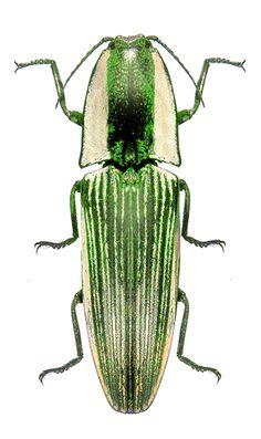 Chalcolepidius zonatus