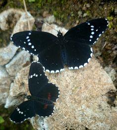 Mariposas negras en una piedra