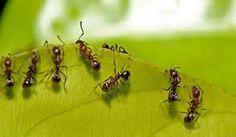 como acabar com formigas lava pé