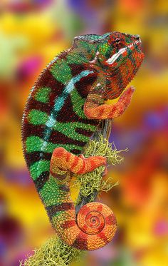 Panther Chameleon (Furcifer pardalis) of Madagascar. photo: Paul Bratescu.
