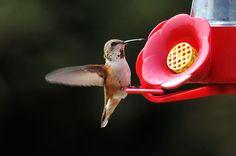 2014 ABA Bird of the Year: Rufous Hummingbird | Backyard Chirper Blog
