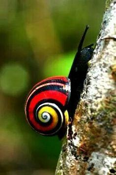 Cuban colored snail