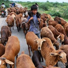 """""""#Nomadic shepherds force their children to drop out of schools to help and engage in sheep rearing etc in #nalgonda. Photo: Singam Venkataramana."""" Photo taken by @the_hindu on Instagram, pinned via the InstaPin iOS App! http://www.instapinapp.com (09/28/2015)"""
