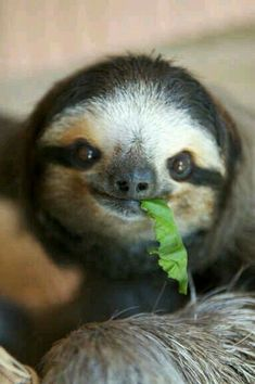 The 27 Happiest Sloths In The World Cute Baby Sloths, Baby Otters, Cute Baby Animals, Animals And Pets, Funny Animals, Wild Animals, Pictures Of Sloths, Cute Sloth Pictures, Animal Pictures