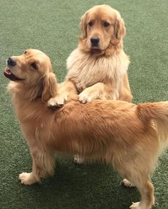 This is my new friend, Cooper. We met at daycare and got along great! We posed like this all by ourselves. #goldensofig #goldenretriever #goldenretrieversofinstagram #betterwithpets #dogsofinstagram #fluffypack #gloriousgoldens #cute #welovegoldens #ilovemydog #dogcrushdaily #retrieveroftheday #goldenlife #featuregoldens #goldenretrieverfeatures #goldenretrieverft #ProPlanDog #ilovegolden_retrievers #mydogiscutest #retrieversgram #idratherbewithmydog #daycare #friends