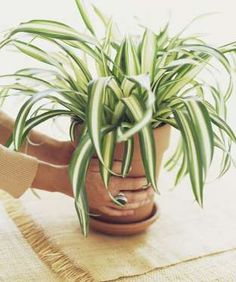 Another plant that does well in hanging baskets, the spider plant (Chlorophytum comosum) is non-toxi... - Julie Toy