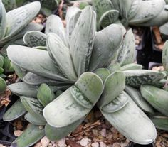 Gasteria 'Frosty' Order from http://www.smgsucculents.com