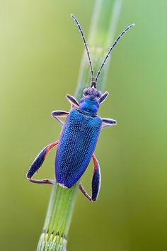 "Donacia crassipes   ©John Hallmén Leaf beetle Donacia crassipes (Coleoptera - Chrysomelidae) perched on Equisetum (""Horsetail"") - Size: 9 mm..."