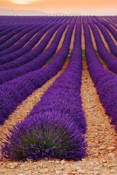 lavender field by Eva0707