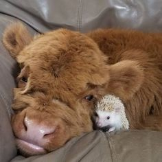 Cute Baby Cow, Baby Animals Super Cute, Baby Cows, Cute Cows, Cute Little Animals, Cute Funny Animals, Baby Farm Animals, Baby Giraffes, Woodland Animals