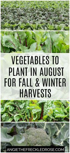 to Plant in August for Fall amp; Winter Harvests Vegetables to Plant in August for Fall amp; Winter HarvestsVegetables to Plant in August for Fall amp; Rose Winter, Fall Winter, Permaculture, Fall Vegetables To Plant, Gardening Vegetables, Growing Vegetables In Pots, Fall Crops, Winter Crops, Gardens