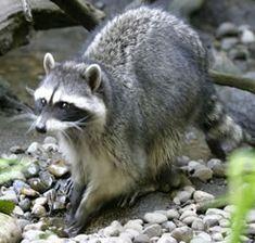 Raccoons - Living with Wildlife | Washington Department of Fish & Wildlife