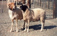 Namaqua Afrikaner sheep (also known as Cape fat tail) is a breed of fat tailed, hair sheep indigenous to South Africa.