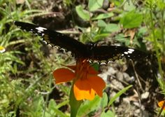 Mariposa en una flor de tacote