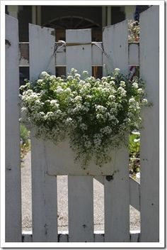 alyssum in the fence bucket - love white on white