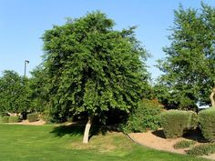 Where to buy San Diego shade tree Dalbergia sissoo Indian rosewood