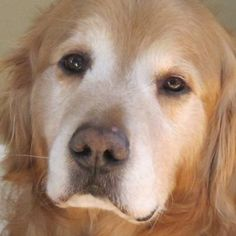 #MINNESOTA ~ This is Buddy/Joe a 5 yr old #adoptable #GoldenRetriever dog. He was picked up as a stray. He is being treated for slight ear infections & will be neutered soon. He gets along with other dogs & kids, is potty trained & has good house manners. He is looking for a forever home and is at Retrive A Golden Minnesota.