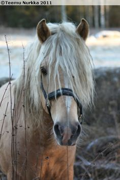 Finnhorse stallion Preussi