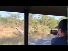 Spectacular Lion Chase around our Safari Vehicle