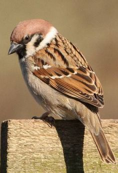 Small Birds, Colorful Birds, Love Birds, Beautiful Birds, Pet Birds, Nature Pictures, Animal Pictures, Sparrow Pictures, Sparrow Bird