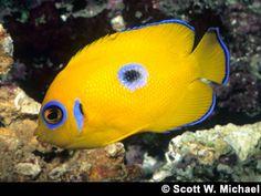 Lemonpeel Angelfish | Petcha