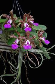 Cattleya Peckhaviensis - Cerca con Google