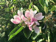 IMG_1253 apple blossom 640