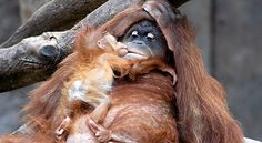Orangutans' extremely low reproductive rate makes their populations highly vulnerable. Females give birth to one infant at a time about every 3-5 years, so these species can take a long time to recover from population declines. With human pressure only increasing, orangutans face an increasing risk of extinction.