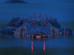 Alligators have a tapetum lucidum at the back of each eye — eyeshine. Theirs predominantly reflects light in the red part of the spectrum. Alligators, Tapetum Lucidum, Myakka River State Park, Dame Nature, Nature Sauvage, Mundo Animal, Reptiles And Amphibians, National Geographic Photos, Wildlife Photography