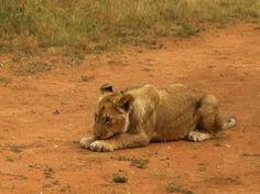 Walk with the Lions at Ukutula Park - South Africa    http://imoveismlara.wordpress.com/ http://www.marcelolara.com.br