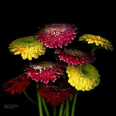A BUNCH of HAPPINESS… GERBERA by Magda Indigo on 500px