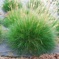Festuca gautieri (zwenkgras), groen naaldachtige blad, mooi groenblijvend siergrasje, kan ook in kuip en als bodembedekkers