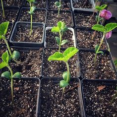 """Organic #edamame starts for the adventurous Austin gardener! #🌱"" - tillerystplantco (Instagram)"