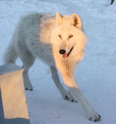 All Types of Husky Breeds are dogs that are used to pull sleighs by means of leashes and harness. Read more about the 4 purebred husky breeds. Husky Breeds, Dog Breeds, Greenland Dog, Best Puppy Food, White Husky, Living With Dogs, Different Dogs, Alaskan Malamute, Samoyed