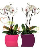Artificial White Orchids in Pink and Aubergine Curvy Desk Bowls (FYTLAOC100)
