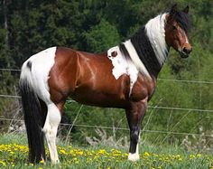 Tricolor Europaint stallion, Im Ideal.    Love these tricolored horses..