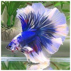 Pretty Fish, Beautiful Fish, Colorful Fish, Tropical Fish, Tang Fish, Creepy Animals, Betta Fish Types, Beautiful Sea Creatures, Beta Fish