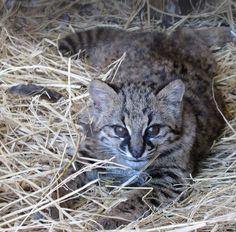 Young kodkod, Leopardus Guigna