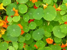 Orange and green ~ I heart nasturtiums!!!!