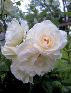 White Roses, White Flowers, Small Flower Gardens, Beautiful Rose Flowers, Natural, Backdrops, Plants, Every Rose, Gardens