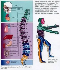 magicmedic: Spinal Nerves and their connection to organs (Psoas Release New Years) Spinal Nerve, Spinal Cord, Spine Health, Chiropractic Care, Anatomy And Physiology, Human Anatomy, Massage Therapy, Physical Therapy, Nervous System